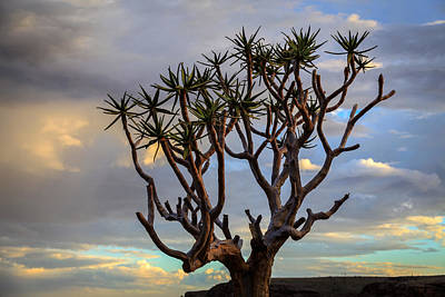 Photograph - Quiver Tree by Gregory Daley  PPSA