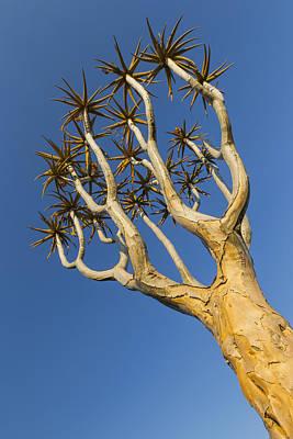 Quiver Tree Keetmanshoop Namibia Art Print