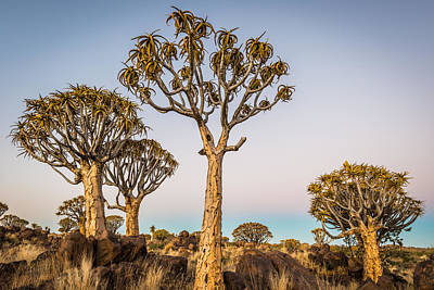 Bark Mixed Media - Quiver Tree Sunset - Namibia Africa Photograph by Duane Miller
