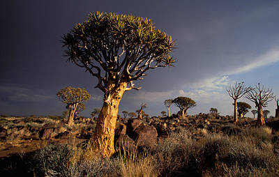 Photograph - Quiver Trees, Namibia by Nigel Dennis
