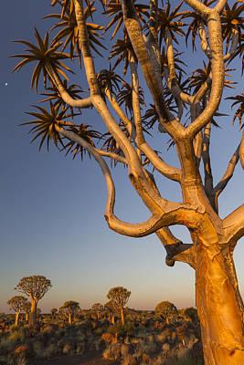 Photograph - Quiver Trees On Grassland Keetmanshoop by Vincent Grafhorst