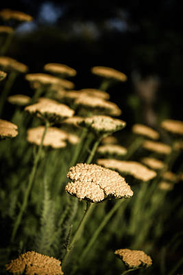 Art Print featuring the photograph Quivering Yarrow by Dave Garner