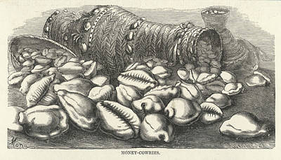 "Cowrie Shell Drawing - ""money-cowries"" Of Pacific by Mary Evans Picture Library"