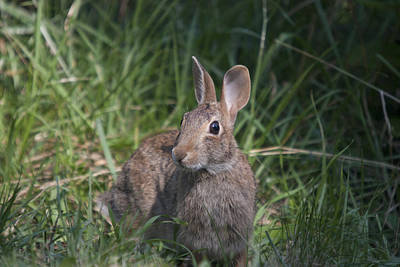 Photograph - Rabbit - 0003 by S and S Photo