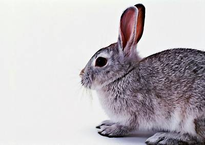 Lagomorphs Painting - Rabbit 1 by Lanjee Chee