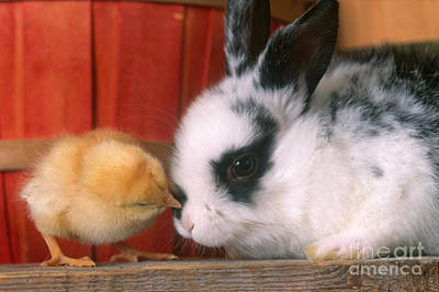 Photograph - Rabbit And Chick by Alan and Sandy Carey