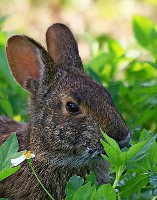 Photograph - Rabbit At Viera by Ira Runyan