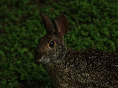Photograph - Rabbit by Billy  Griffis Jr