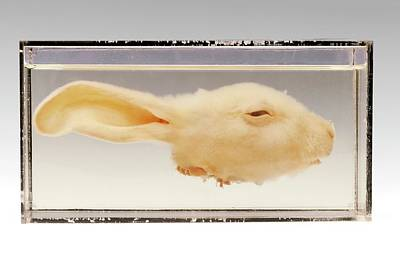 Deaths Head Photograph - Rabbit Head by Ucl, Grant Museum Of Zoology