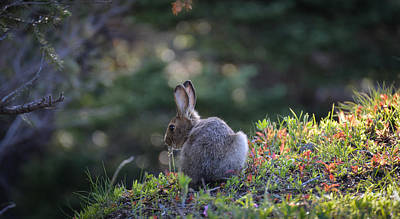 Photograph - Rabbit In The Sun On Hurricane Hill by Ronda Broatch