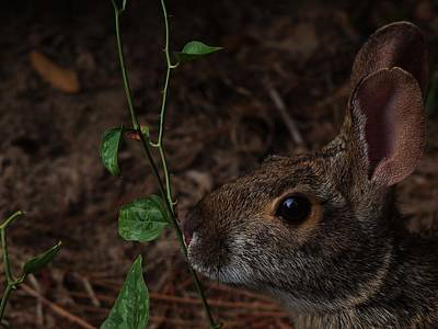 Photograph - Rabbit Sniffing A Vine by Billy  Griffis Jr