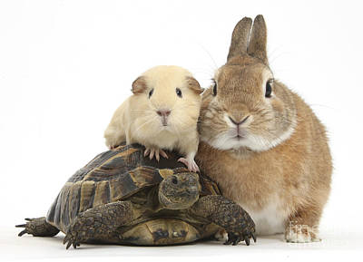 House Pet Photograph - Rabbit, Tortoise And Guinea Pig by Mark Taylor