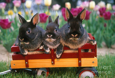 Photograph - Rabbit Trio In Wagon by Alan and Sandy Carey