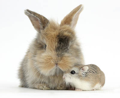 House Pet Photograph - Rabbit With Roborovski Hamster by Mark Taylor