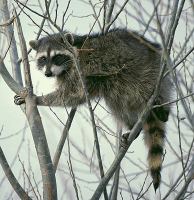 Raccoon Photograph - Up A Tree by Ellen Henneke