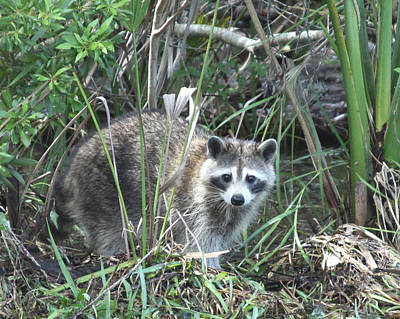 Photograph - Raccoon by Aileen Mayer