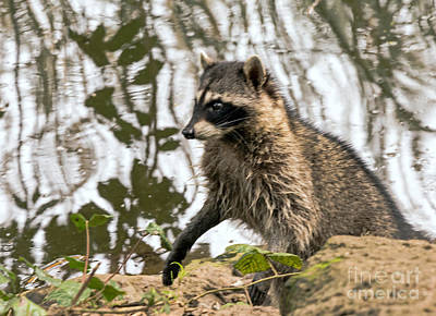 Photograph - Raccoon Alert by Kate Brown