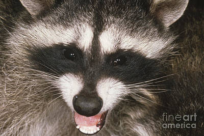 Raccoon Photograph - Raccoon by Art Wolfe