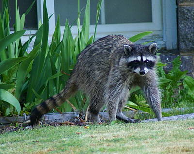Photograph - Raccoon At High Noon by Ben Upham III