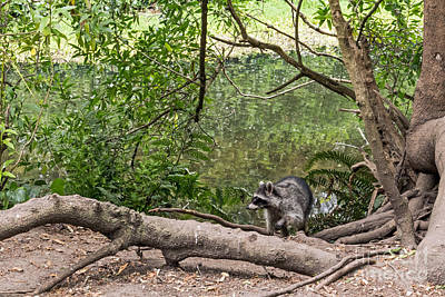 Photograph - Raccoon At The Lake by Kate Brown