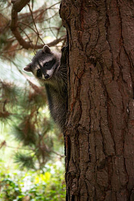 Photograph - Raccoon Cub by Dustin  LeFevre