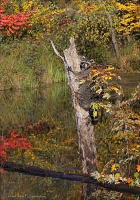 Photograph - Raccoon by Daniel Behm