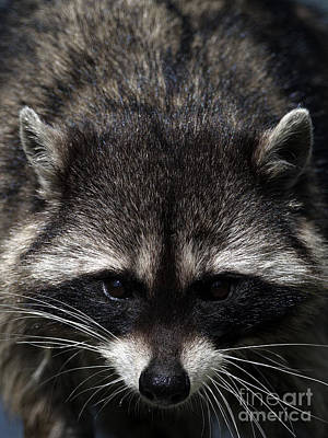 Raccoon Encounter Art Print by Sharon Talson