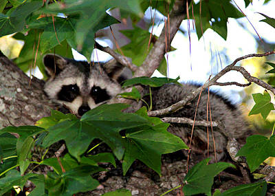 Photograph - Raccoon Eyes by Matalyn Gardner