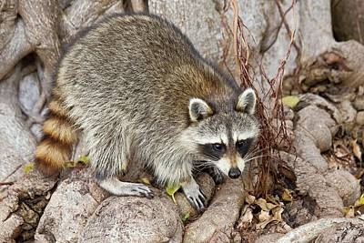 Omnivore Photograph - Raccoon Foraging For Food by Bob Gibbons