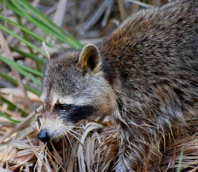 Photograph - Raccoon Hunting For Food 1 by Sheri McLeroy