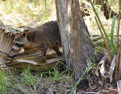 Photograph - Raccoon Hunting For Food 2 by Sheri McLeroy