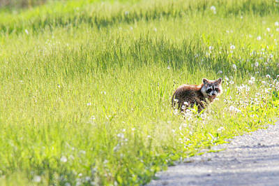 Raccoon In Green Field Art Print by Jill Bell