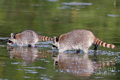 Photograph - Raccoon Mother And Baby by Martha Marks
