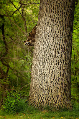 Photograph - Raccoon On Tree by  Onyonet  Photo Studios