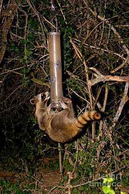 Birdseed Photograph - Raccoon Raiding Bird Feeder by Gregory G. Dimijian, M.D.
