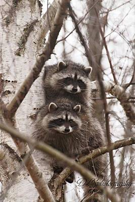 Raccoon Photograph - Raccoon Siblings by Danielle Silveira