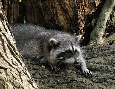 Photograph - Raccoon Watching by Brian Chase