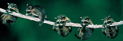 Cute Tree Images Photograph - Raccoons Concept Alberta Canada by Panoramic Images