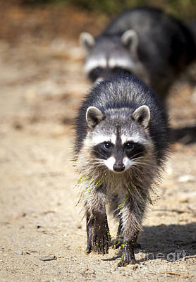 California Photograph - Raccoons by David Millenheft