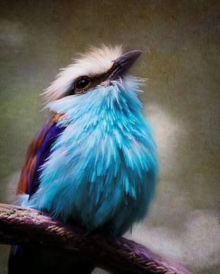 Racket-tailed Roller Art Print by Ron Grafe