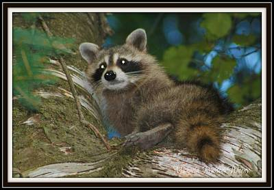 Photograph - Racoon 1 by Michaela Preston