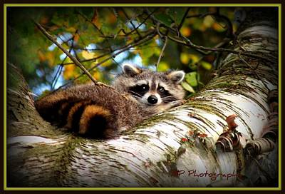 Photograph - Racoon 3 by Michaela Preston