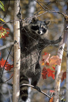 Photograph - Racoon In Tree by Chris Scroggins
