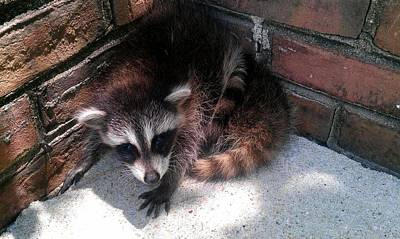 Photograph - Racoon Baby Waiting For Mom by Kenny Glover
