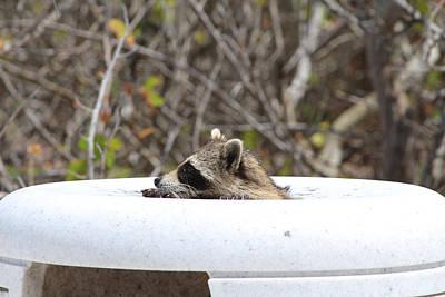 Raccoon Photograph - Racoon Peeking Out Of A Rubbish Bin by Ash Sharesomephotos