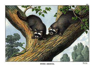 Raccoon Drawing - Racoon by Splendid Art Prints
