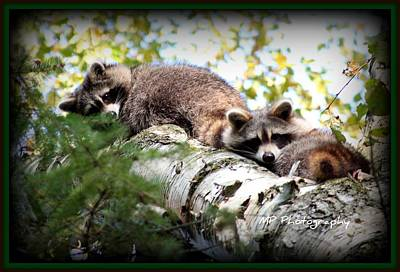 Photograph - Racoons by Michaela Preston