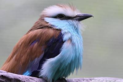 Rare Bird Photograph - Racquet Tailed Roller by Dan Sproul