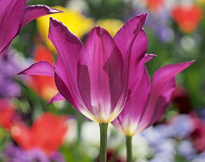Multicolor Photograph - Radiant Purple Tulips by Rona Black