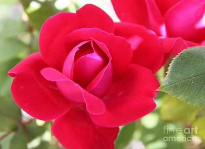 Radiant Red Rosebud Art Print by French Toast